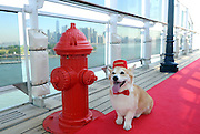 Wally, a Corgi, enjoys the remastered kennels on the Queen Mary 2, the only passenger liner to carry pets, Wednesday, July 6, 2016, at Brooklyn Cruise Terminal in New York, its U.S. homeport.  The Queen Mary 2 spent 25 days in dry dock and a refit that cost in the region of $132 million, renovating its staterooms, restaurants and public areas.  (Diane Bondareff/AP Images for Cunard)