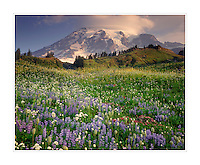 Wildflower meadows, Mount Rainier National Park Washington USA