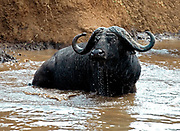 A huge African Buffalo (Syncerus caffer) takes a refershing bath in a pond in Ngorongoro Crater, Tanzania.