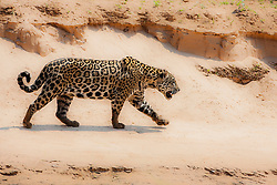 A wild jaguar (Panthera onca) walking along a sandy river bank while hunting, Pantanal, Brasil, South America