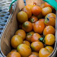 A basket of 'Aladdin's Lamp' heirloom tomatoes