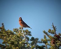 Male Red Crossbill in a pine tree. Rocky Mountain National Park. Image taken with a Nikon D2xs camera and 70-200 mm f/2.8 lens and TC-E 1.4 teleconverter (ISO 160, 280 mm, f/11, 1/250 sec).