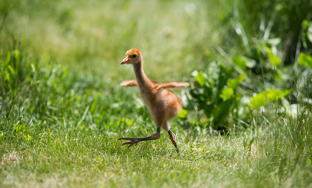 A young Whooping Crane stretches it's wings on a marsh walk.