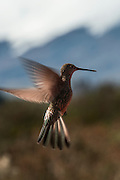 Giant Hummingbird (Patagonia gigas)<br /> Andes<br /> ECUADOR, South America<br /> The giant hummingbird is the largest member of the hummingbird family, weighing 18–24 g with a wingspan measuring approximately 21.5 cm in length, and length of 23 cm