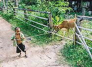 Laotian Child pulling a calf, Laos Southeast Asia