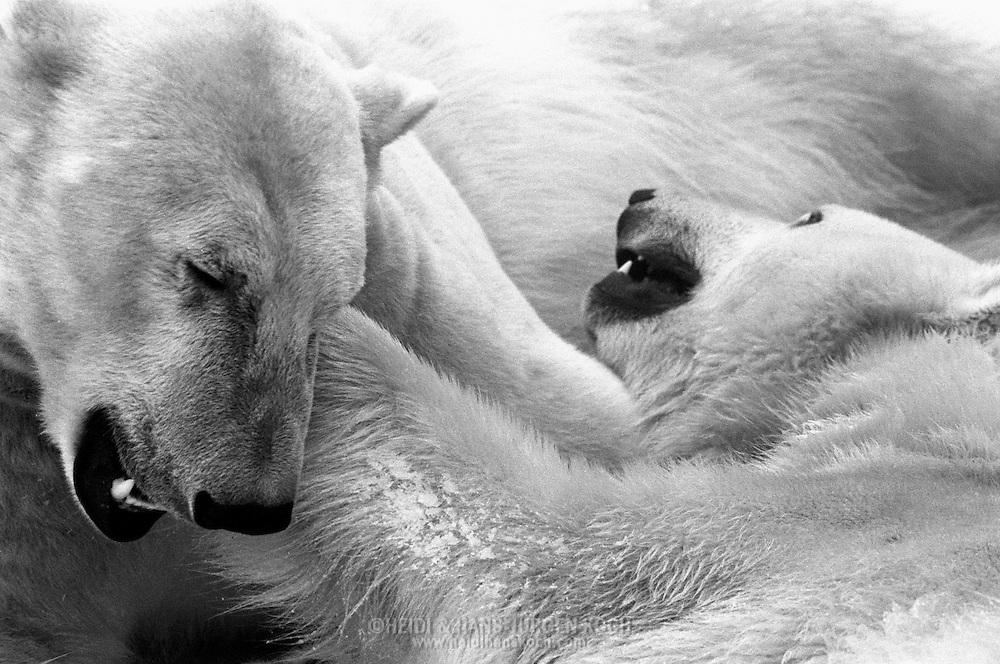 Schweden, SWE, Kolmarden, 2000: Zwei Eisbären (Ursus maritimus) beim Spielen, Kolmardens Djurpark. | Sweden, SWE, Kolmarden, 2000: Polar bear, Ursus maritimus, couple of polar bears playing together, Kolmardens Djurpark. |