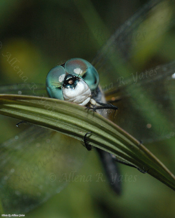 Blue Dasher dragonfly, Pachydiplax longipennis, in<br /> Boone County, Missouri