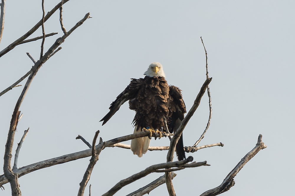 Kayak image on the point beyond the NY State lock.  A favorite perch for the eagles.  The adult finishes preening with an aggressive fluff-out.
