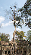 Giant Tree in Ta Prohm at Angkor Siem Reap Province