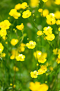 Meadow buttercups, Ranunculus acris, in summertime, UK