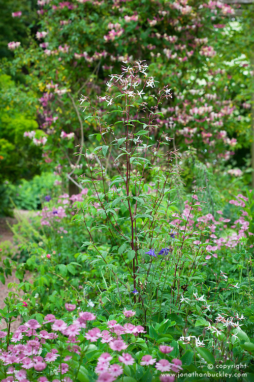 Gillenia trifoliata AGM with astrantia and honeysuckle in Annie's garden at Glebe Cottage