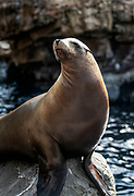 Portrait of a sea lion, Otariinae.