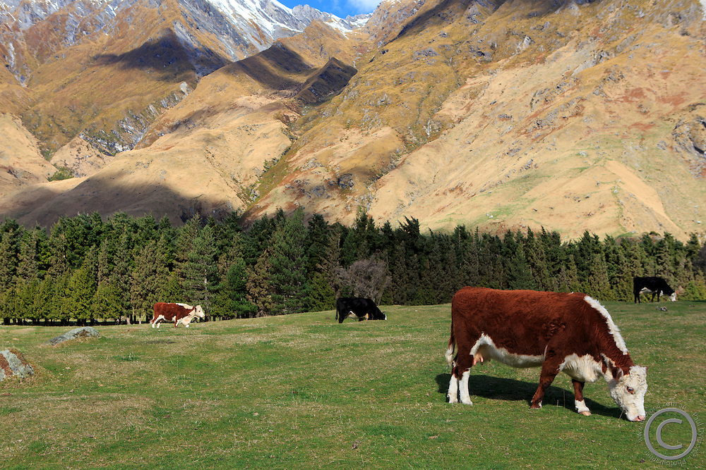 Cattle graze in the lower reaches of the Fox Glacier Walk, Wanaka, New Zealand.