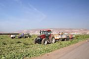 Israel, Jordan Valley, Kibbutz Ashdot Yaacov, Watermelon (Citrullus vulgaris) harvesting
