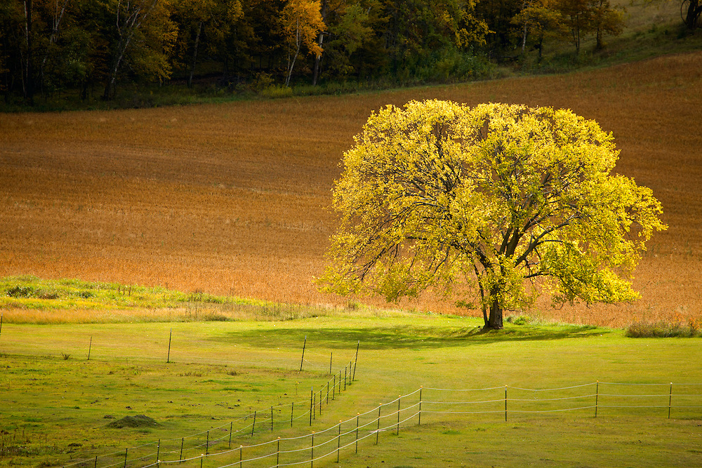 Rural Midwest Autumn landscape scenic centered on the glowing golden leaves of a maple tree in set between pasture and farm field.