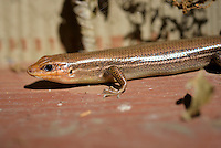 Five-lined skink lizard warms up in a sunny spot