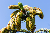 Norway, Klepp, Grudevatn. Conifer cones.