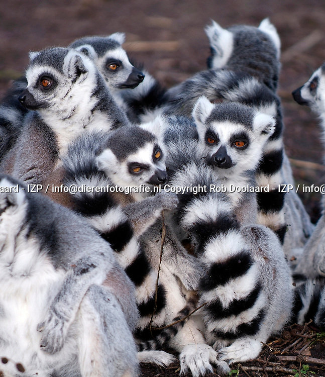 Ringstaartmaki / lemur catta / Ring-tailed lemur