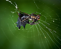 Unknown (Darth Vader) Spider. Image taken with a Fuji X-H1 camera and 80 mm f/2.8 macro lens