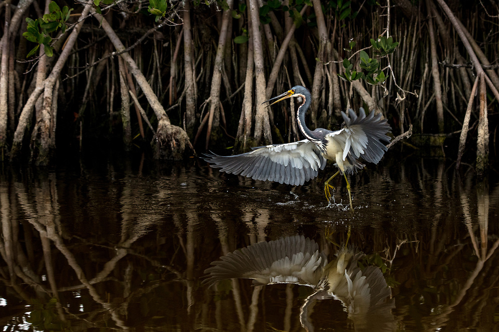 Dancing on Water - Tri-Colored Heron - Merritt Island National Wildlife Refuge, FL