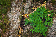 Licorice Ferns (Polypodium glycyrrhiza) growing in a mass on leaf debris caught in a crook of a Big Leaf Maple tree, Gifford Pinchot National Forest, Washington state, USA