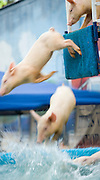 Trained pigs jumping into a water tank during a carnival show.