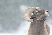 A bighorn sheep ram forages in snow near Guanella Pass, Colorado.
