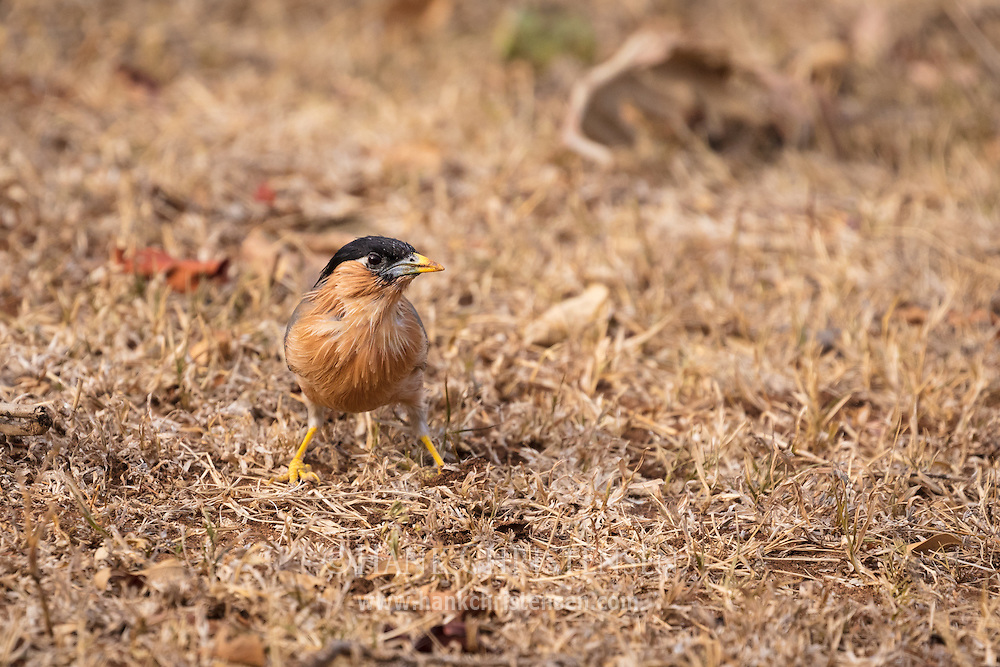 A brahminy starling pauses while looking for food, Mudumalai National Park, India.