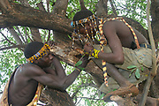 Hadza men harvest honey from the hallow in a baobab tree. Photographed at Lake Eyasi, Tanzania