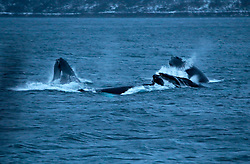 NORWAY TROMSO 4DEC15 - A pod of Humpback whales breach and feed on Hering  near the arctic city of Tromso during the polar night. (Best quality available)<br /> <br /> <br /> jre/Photo by Jiri Rezac / Greenpeace<br /> <br /> &copy; Jiri Rezac 2015