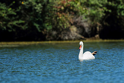 Mute Swan on Banner Marsh in Central Illinois
