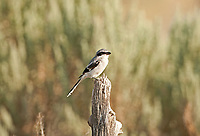 It is common for Loggerhead Shrike to watch for its prey on perches they eat insects and small birds.