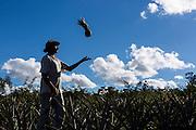 Indaiabira_MG, Brasil.<br /> <br /> ASA (Projeto Um Milhao de Cisternas). Cisternas instaladas em residencias da comunidade de Caicara. Na foto plantacao de abacaxi.<br /> <br /> ASA (Project One Million Cisterns). Cisterns installed in Caicara community residences. In this photo pineapple plantation.<br /> <br /> Foto: LEO DRUMOND / NITRO