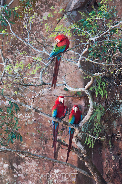 Three green-winged macaw perched in a tree.