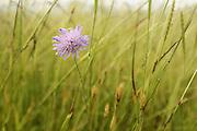 Acker-Witwenblume (Knautia arvensis) auf der  Weide des Resthof von Barbara Lammert und Florian Liedl in Fresendorf