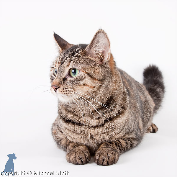 Aspen is a 1 year old Domestic Short Haired (DSH) cat available for adoption at the Benton-Franklin Humane Society.  Cat photography by Michael Kloth.
