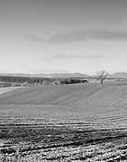 Lone tree, blackandwhite, winter