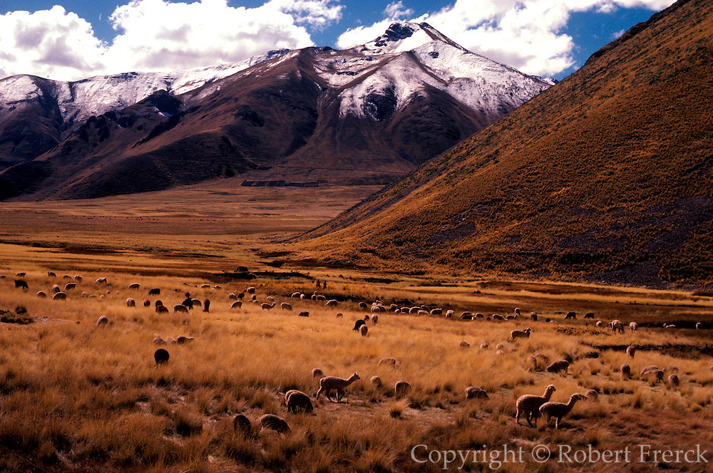 PERU, LAKE TITICACA llamas grazing in a high valley on the  altiplano along the railroad line from  Cuzco to Puno on Lake Titicaca