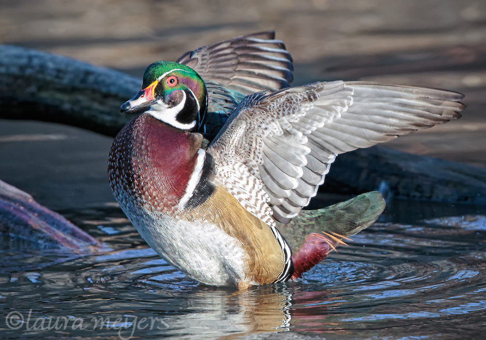 Wood Duck with Wings Up