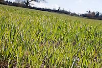 Pasture grass detail in Wexford farm Ireland