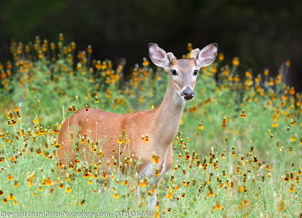 White-tailed buck with new antler buds in the wildflowers