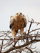 Tawny Eagle feeding on lizard, Tanzania.