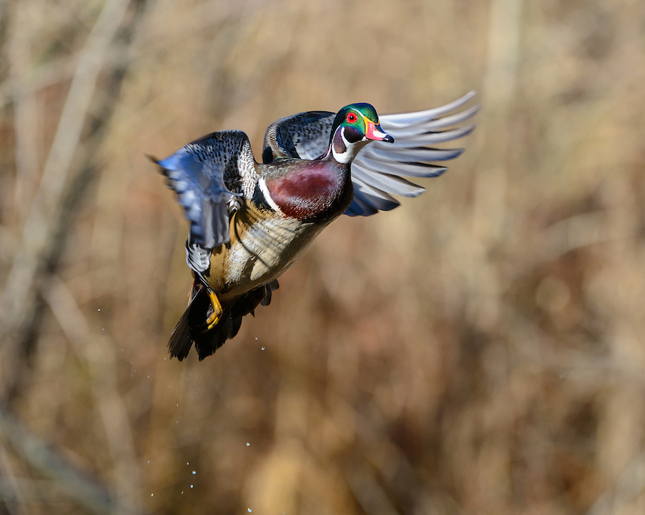A wood duck drake (Aix sponsa) launches up from a pond.