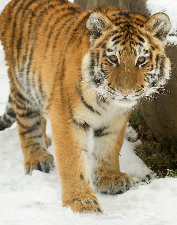 Amur Tiger Cub in Snow (Captive)