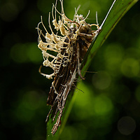 With almost a sinister beauty, this garden of parasitoid fungus (possibly Akanthomyces) sprouts its fruiting bodies from the back of a moth it has killed. These release millions of microscopic spores which are dispersed into the surrounding area. When ingested by another insect they spell certain doom.