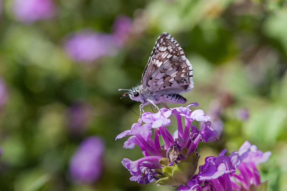 Pyrgus albescens (White Checkered Skipper) at Cozy Dell, Ventura Co, CA, USA, on 25-Oct-08