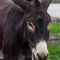 Edward at the Primrose Donkey Sanctuary, Roseneath, Ontario