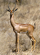 Male Gerenuk or Waller's Gazelle, Litocranius walleri, from Samburu NP, Kenya.