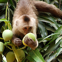 Un mono capuchin huele un mango antes de comerlo. El Hato Piñero, ubicado en los llanos centrales de Venezuela, Estado Cojedes; constituye un desarrollo que se caracteriza por el turismo ecológico, donde los visitantes pueden disfrutar de la diversidad de la fauna, las actividades ganaderas y agroindustriales. El Hato Piñero es un retiro para los amantes de la naturaleza, observadores de aves o los viajeros que simplemente buscan paz y tranquilidad. Estado Cojedes. Venezuela. A capuchin monkey smells a mango before eating it. El Hato Piñero, located in the central plains of Venezuela, Cojedes State; It is a development characterized by ecological tourism, where visitors can enjoy the diversity of fauna, livestock and agroindustrial activities. El Hato Piñero is a retreat for nature lovers, birdwatchers or travelers who simply seek peace and tranquility. Cojedes State. Venezuela.