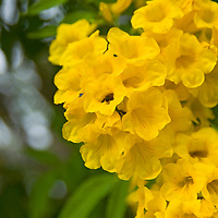 The National flower of the Bahamas the Yellow Elder.